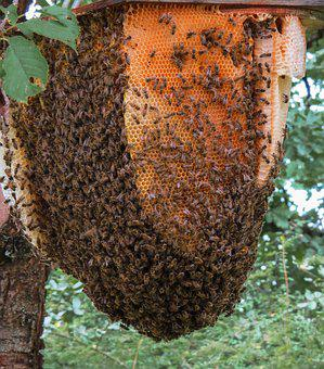 Animal, Insect, Bee, Beehive, Honey, Wing, Wild Bees