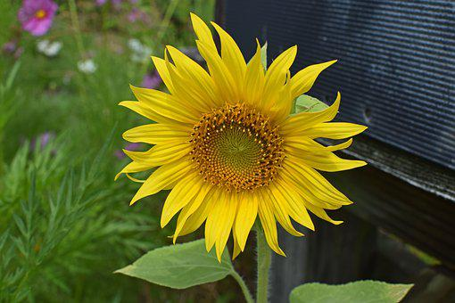 Sunflower By Mailbox, Sunflower, Flower, Blossom, Bloom