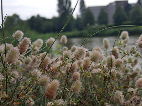 Mittelland Canal, Channel, Rabbit Clover, Meadow