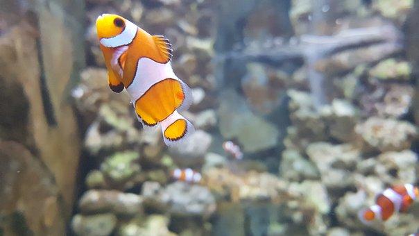 Nemo, Clownfish, Aquarium