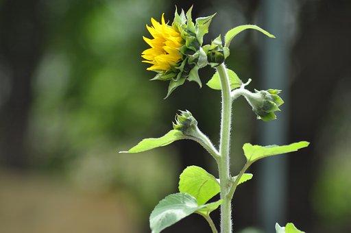 Sunflower, Community Garden, Community, Garden, Summer