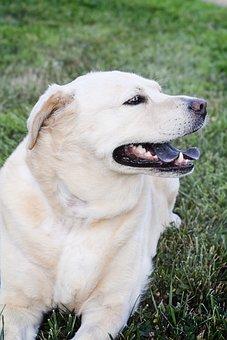 Dog, Labrador, Chow, Pet, Retriever, Animal, Cute