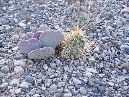 Desert, Nevada, Cactus