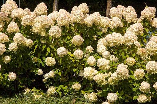 Flowers, Hydrangea, Background, Nature, Garden