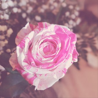 Rosa, Flowers, Nature, Vintage, Bride, Wedding, Veil