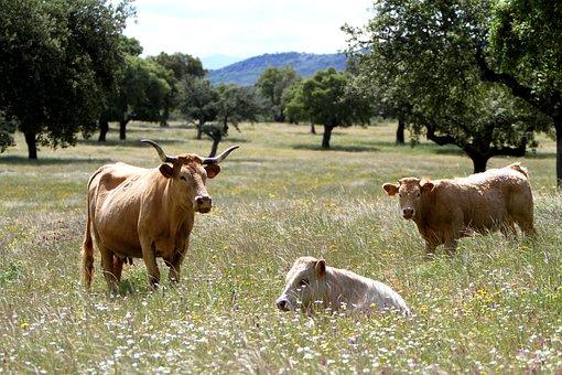 Extremadura Spain, Cows, Wildflowers, Encinas, Grazing