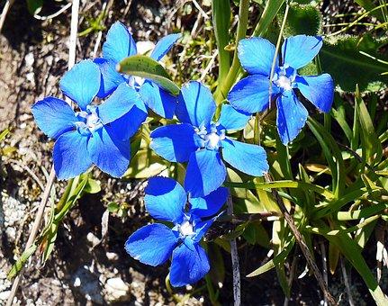Spring Gentian, Alpine Flower, Alm, High Mountains