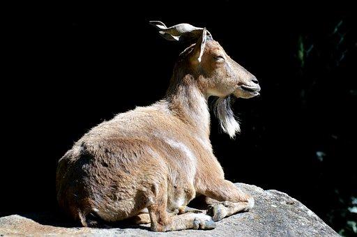 Markhor, Screw A Goat, Goat, Wild Goat, Horns