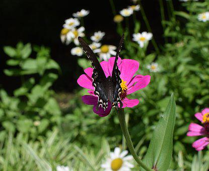Hybrid Swallowtail On Zinnia, Butterfly, Insect