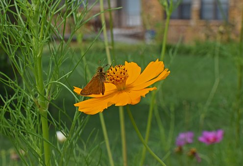 Skipper On Coreopsis, Butterfly, Insect, Pollinator
