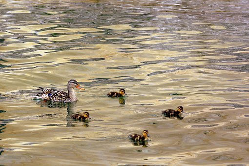 Duck, Puppies, Mom, Small, Water, Lake