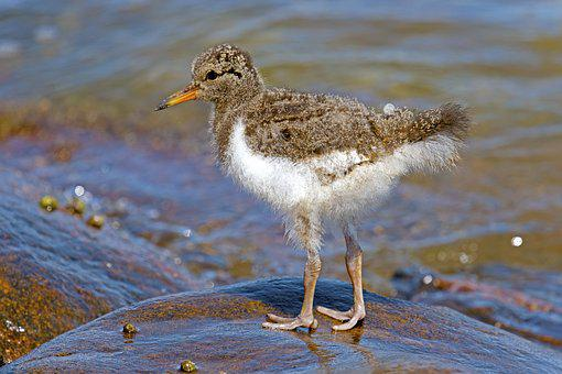 Fischer Young Bird Oyster, Limicoline, North Sea, Wader