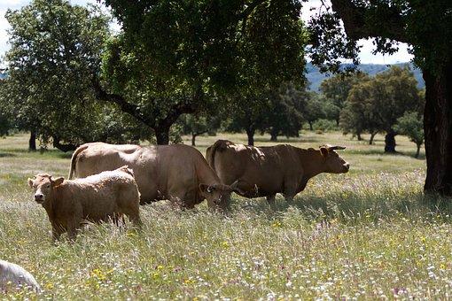 Extremadura Spain, Cows, Meadow, Encinas, Wildflowers