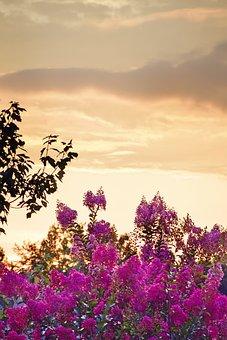 Sunset, Crape Myrtle, Crape, Myrtle, Pink, Bloom