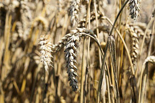 Cereals, Grain, Spike, Nature, Field, Food, Plant, Seed