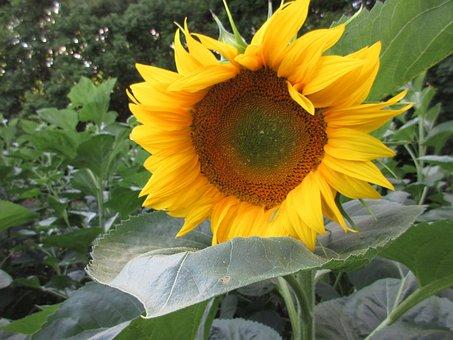 Sunflower, Summer, Plants, Yellow Flower, Yellow