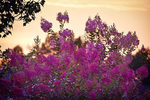 Sunset, Crape Myrtle, Crape, Myrtle, Purple, Pink