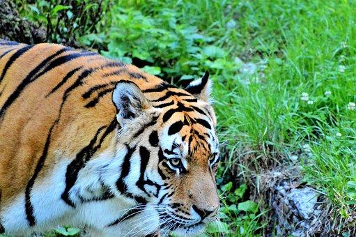 Tiger, Big Cat, Predator, Cat, Tiergarten, Zoo