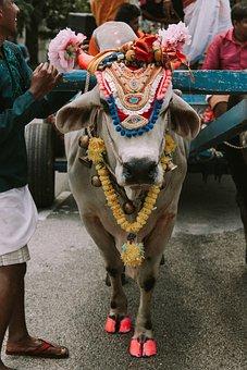 Cow, Holy, Sacred, India, Hinduism, Traditional, Animal