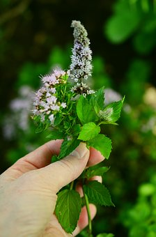 Culinary Herbs, Herbs Flowers, Garden, Aromatic, Aroma