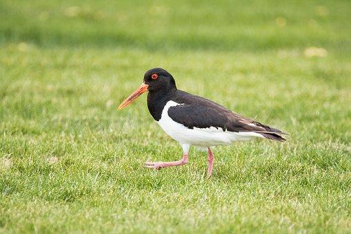 Oystercatcher, Bird, Animal, Water Bird, North Sea