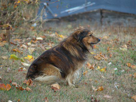 Dog, Collie, Brown, Sitting, Chain, Outdoors, Outside