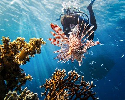 Red Sea, Lionfish, Scuba, Diving, Marine, Nature