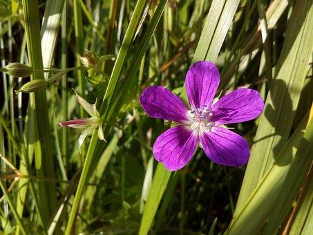 Flower, Pistil, Stamens, Field, Closeup, Wild Flower
