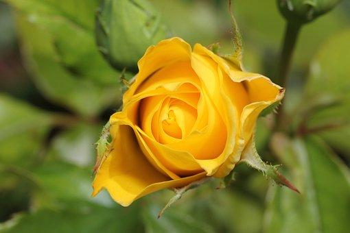 Rose, Money, Flora, Flower, Garden, Wild Rose, Blossom