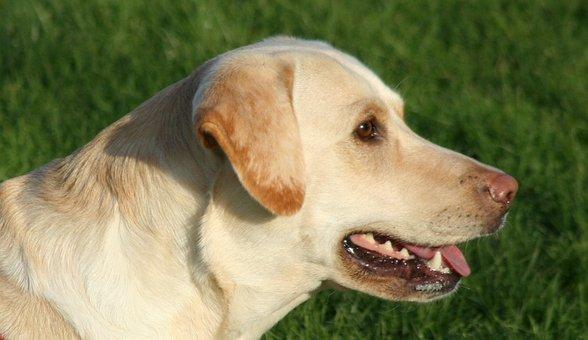 Dog, Labrador, Panting, Animal