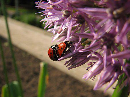 Ladybug, Blossom, Bloom, Nature, Beetle, Insect, Close