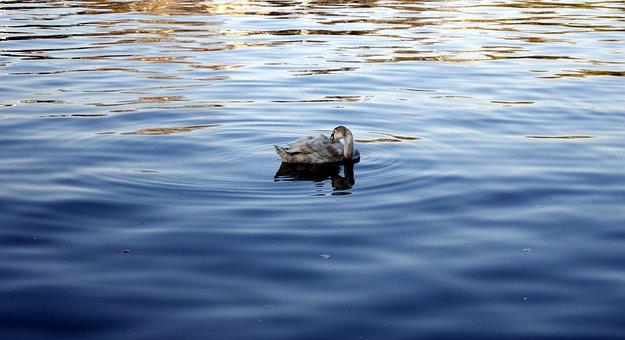 Swan, Water, Lake, Swans, Water Bird, Cygnet