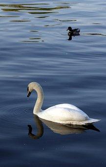 Swan, Lake, Water, Bird, Nature, White Swan, Waters