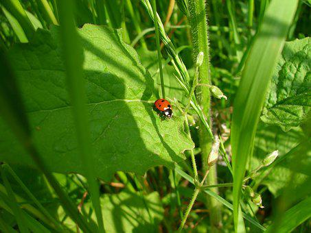Ladybug, Beetle, Nature, Insect, Grass Green, Macro