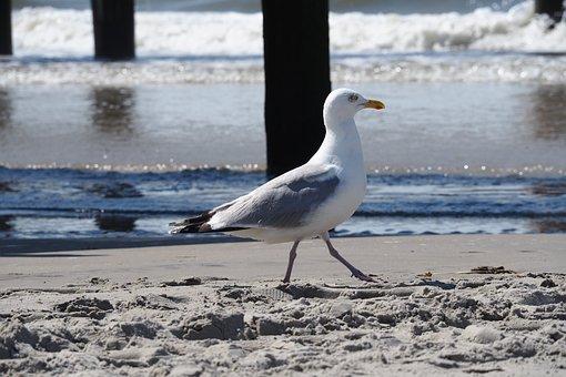 Seagull, Sea, Beach, Seevogel, Water Bird, Holiday