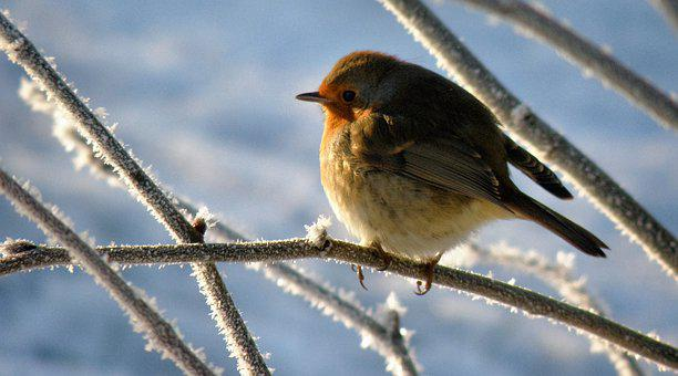 Robin, Bird, Snow, Winter, Animal