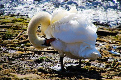Swan, Nature, Bird, Wildlife, Animal, Water, Wild