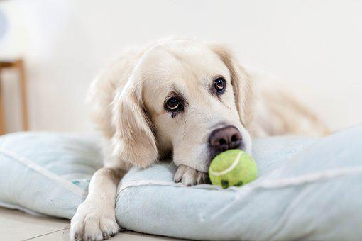 Dog, Golden Retriever, Pet, Animals, Sad, Tennis Ball