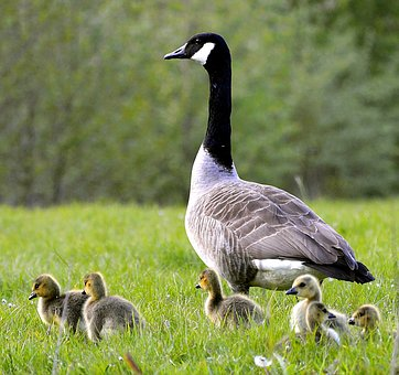 Canada Goose, Chicks, Young, Animal World, Bird
