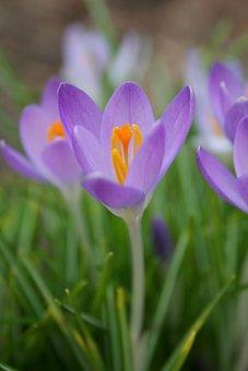 Crocus, Spring, Nature, Bloom, Season, Flower, Blossom