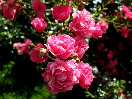 Pink, Pink Rose, Ros, Summer, Flower, Garden, Flowers