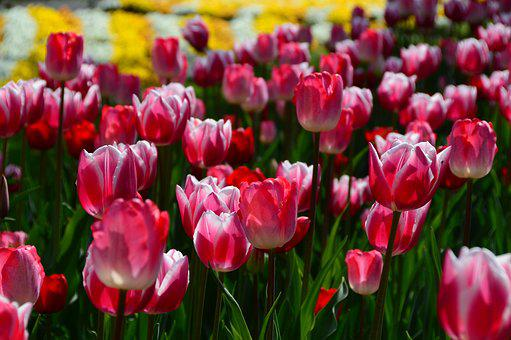 Spring, Flowers, Tulips, Plant, Hall, Spring Flower