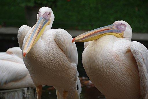 Pelikan, Zoo, Bird, Water, Plumage, Feather, Bill, Wing