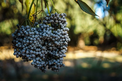 Blueberries, Fruits, Food, Healthy, Trees, Nature