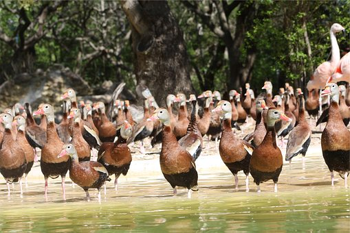 Ducks, Birds, Animals