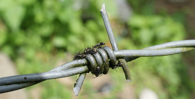 Image, Barbed Wire Is, Ant, Insect, Nature Quindio