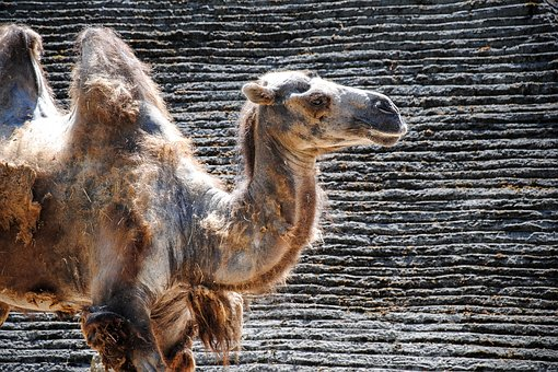 Camel, Wildlife, Animal, Nature, Wild, Travel, Arabia