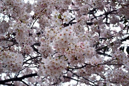 Flower, Cherry Blossom, Pink, Nature, Blossom, Spring
