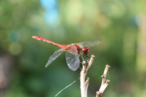 Dragonfly, Metallica, Red, Insect, Closeup, Macro