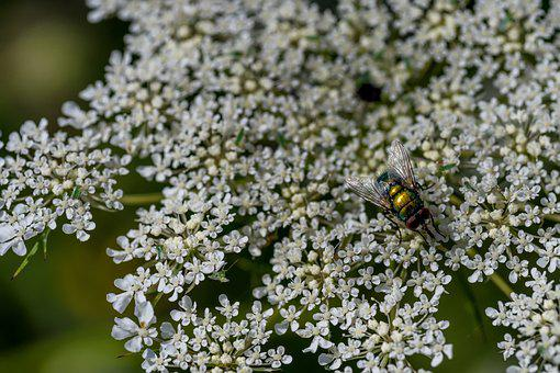 Fly, Insect, Macro, Nature, Flight Insect, Wing, Flower
